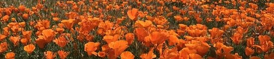 field-of-poppies-2280177_640 smalle strook